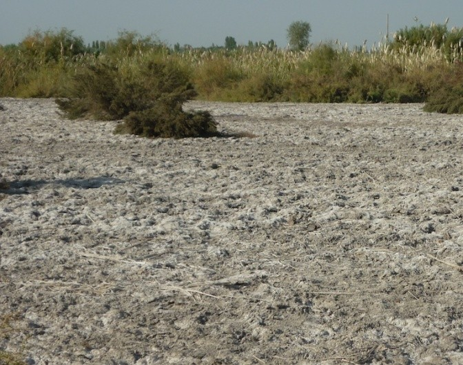 Salt affected land to be established to licorice. Photo: Andrew Noble/IWMI