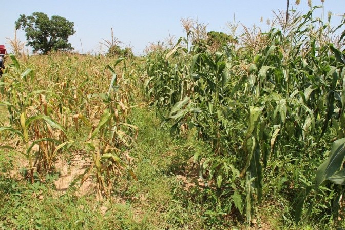 Visible difference between corn using Zai and not. Photo Credit: Camilla Zanzanaini