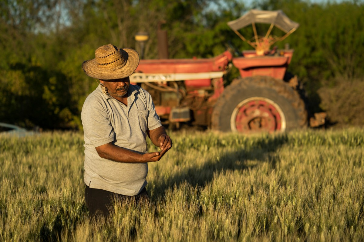 There's a strong ideological connotation of the word farmer as someone with a masculine identity. Here a male farmer examines wheat seed in Mexico.