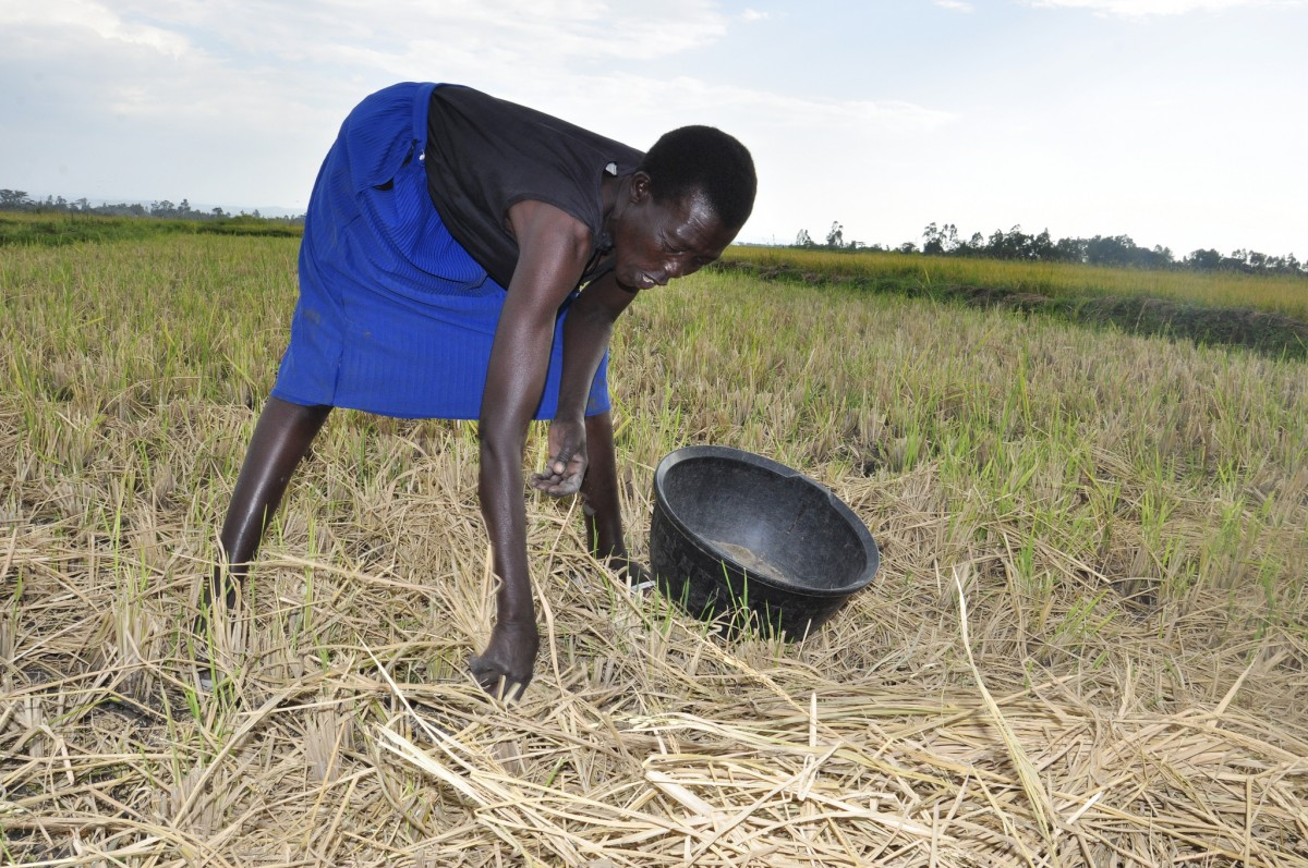 Women are particularly vulnerable to climate change. Here a woman farmer in Kenya is harvesting rice.