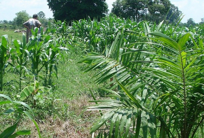 Intercropped maize and oil palm in Colombia. Photo: CIMMYT