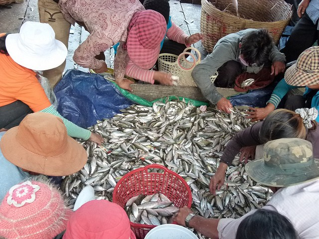 Fisherman downstream in the Mekong River Basin harvest fish.  At the Cambodian government dai research station.  Photo: CPWF on Flickr