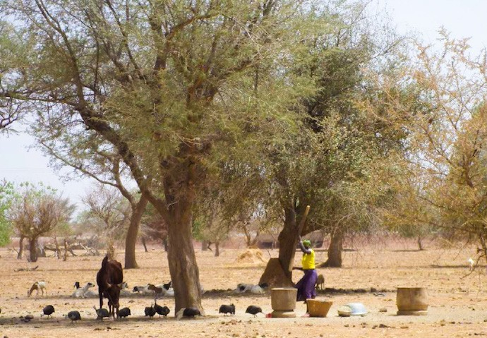 A cluster of trees found in semi-arid regions of Northern Burkina Faso. Photo: Elsie