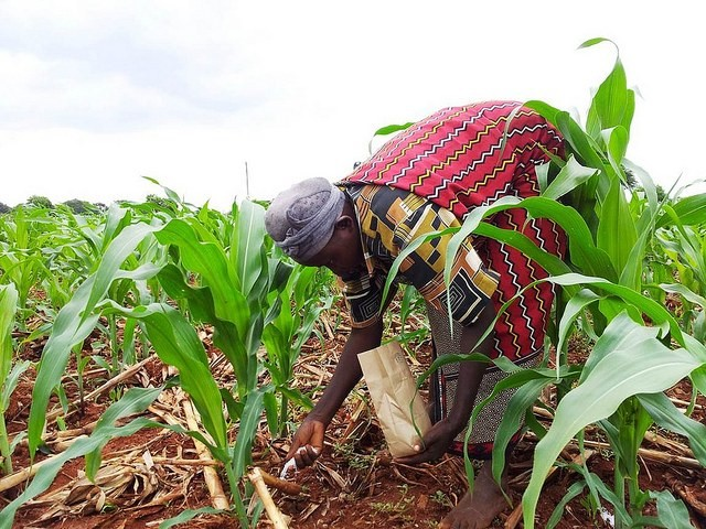 A woman applies fertilizer on a maize crop in Kenya. Photo: B. Das/CIMMYT