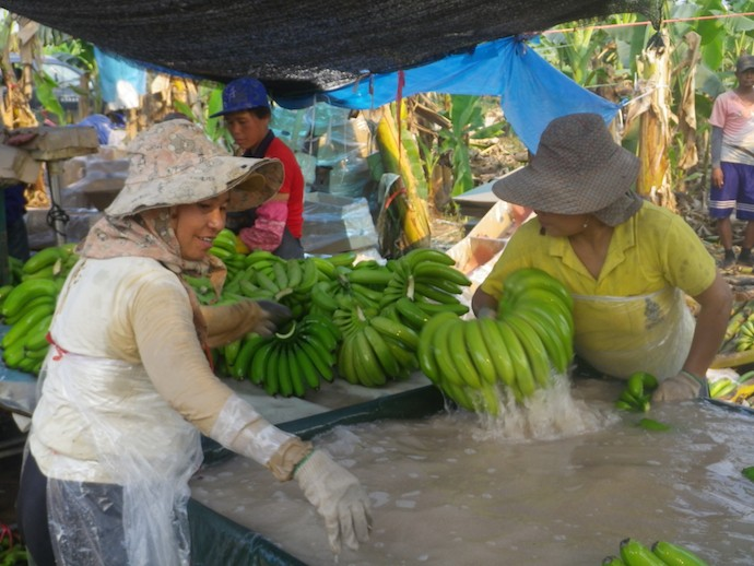 Women are favoured for plantation tasks such as washing bananas. Photo: Stuart Ling
