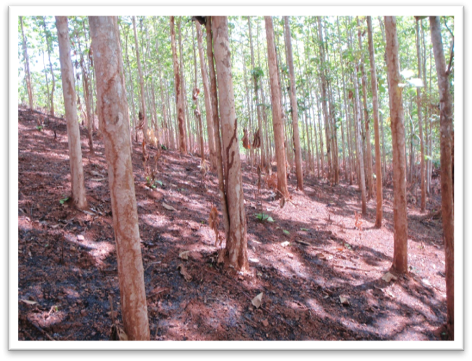 A teak plantation in Northern Laos.