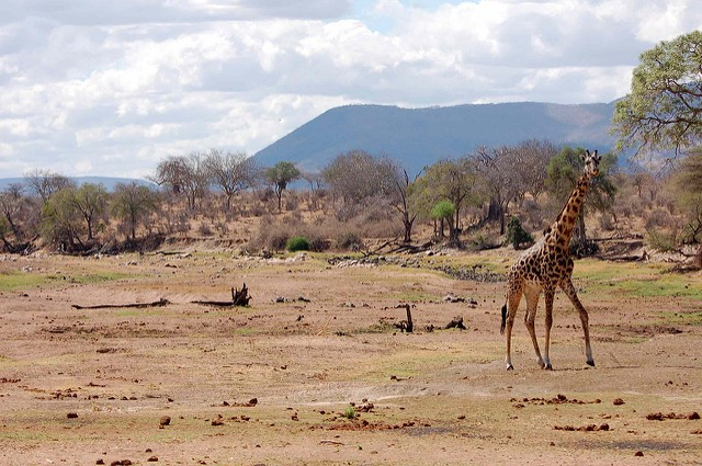 Giraffe walking on the dry riverbed of Ruaha River.