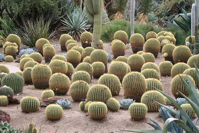 Cacti The New Energy Crop Water Land And Ecosystems