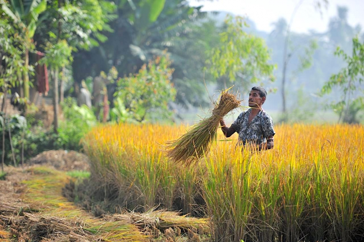 A farmer harvesting in Bangladesh.