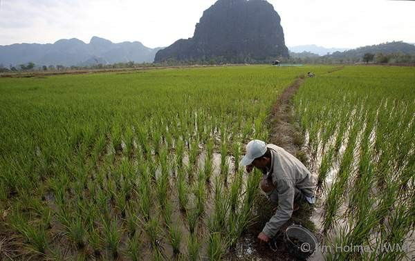 Rice field in the Greater Mekong