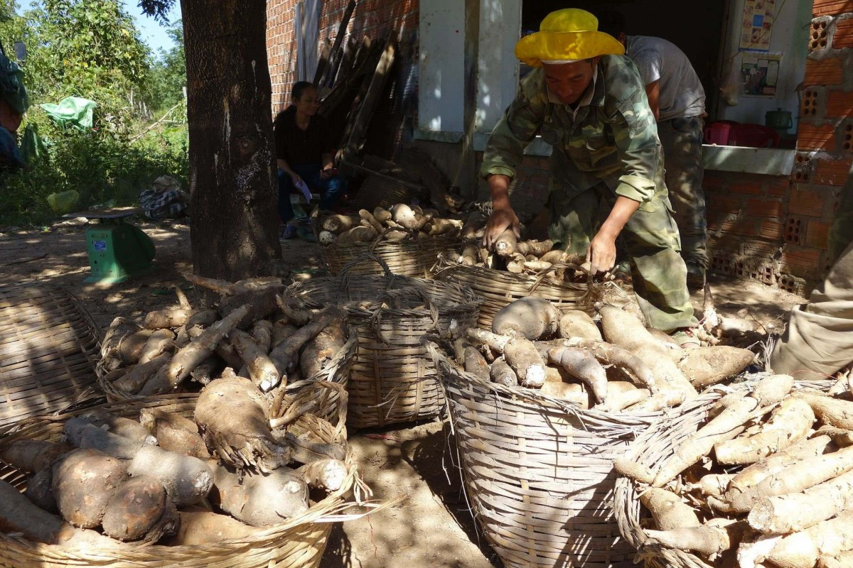 Preparing cassava to transport to the processing factory