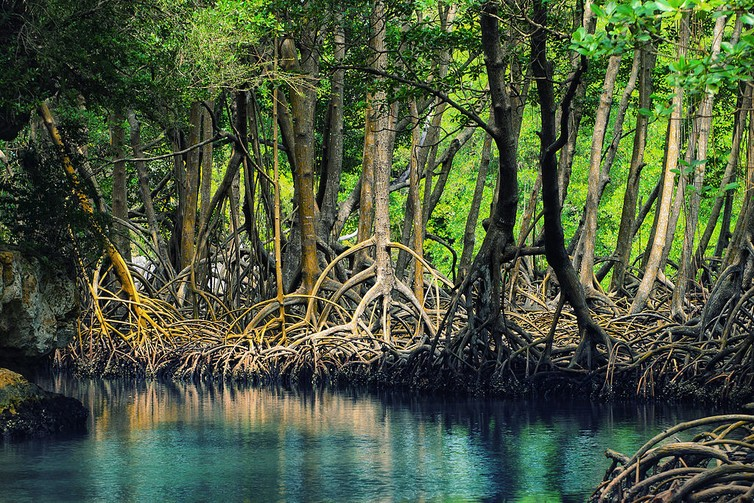 The Los Haitises mangroves of the Dominican Republic.
