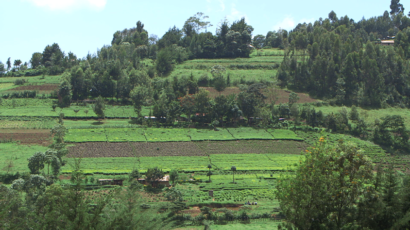 Thriving agricultural fields (shamba) in Kenya.