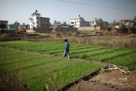 Spring onion cultivation on an urban farm in Kathmandu, Nepal.