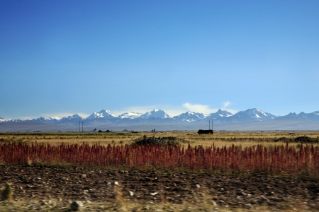 Quinoa growing in the Bolivian landscape.