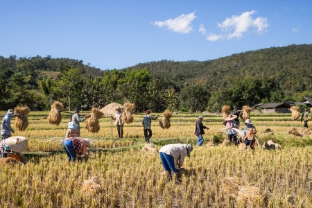 Rice farmers in Mae Wang district, Chiang Mai province, Thailand.
