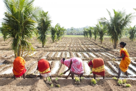 Farmers plant onions in irrigated field in India.