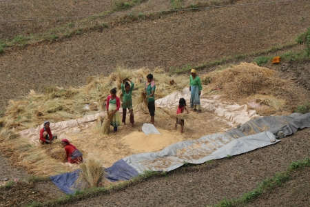 Rice harvest in Nepal.