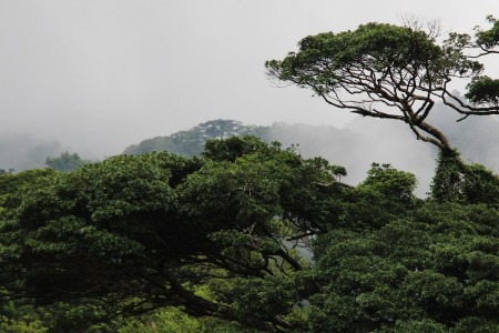 A trees rises above the cloud forest in Monteverde region, Costa Rica.