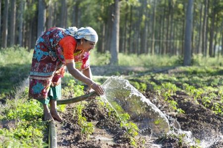 India - female farmer irrigates crops