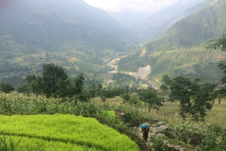Terrace system with seedling rice (lime green) and maize (darker green) above Khudi, Nepal.