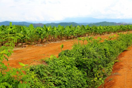 Banana plantation in Kachin, Myanmar.