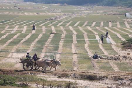 Recession agriculture in a river bed in Myanmar