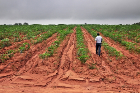 Gullies in a cassava plantation in eastern Thailand. Cassava production is often blamed for increasing soil erosion.