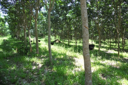 Rubber plantation`