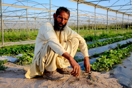 Drip irrigation greenhouse farming, Pakistan