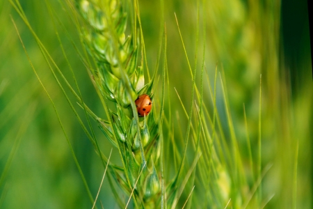Ladybeetle on improved wheat growing in Pakistan.