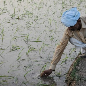A farmer is planting rice in Pakistan.